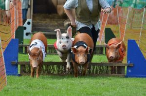 hire racing pigs shows