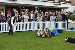 hire sheep dog displays
