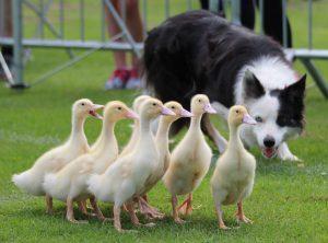hire sheep dog displays